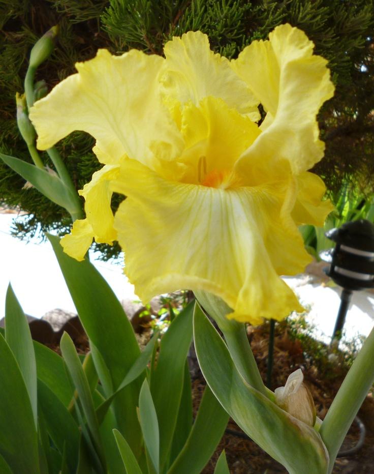 My first iris this year!