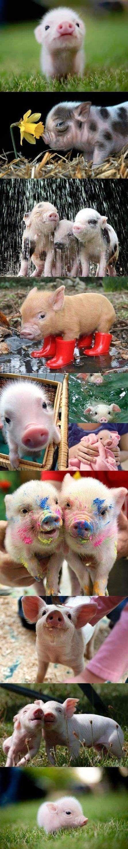 cute pigs shared by http://www.veggiefocus.com