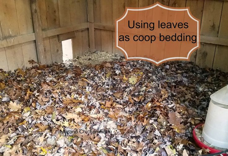 Leaves as litter in chicken coop