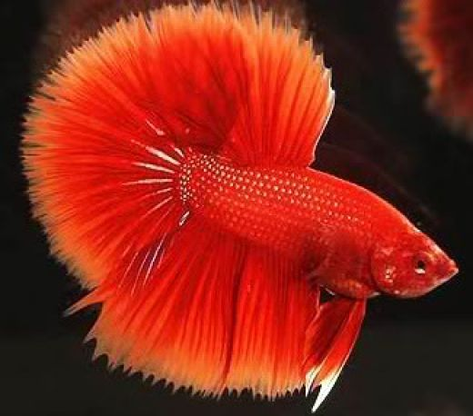 Betta keeping and breeding the siamese fighting fish for Red betta fish