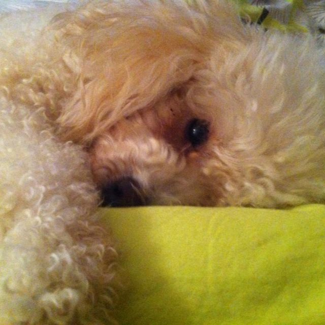 Cute poodle! Apricot poodle. Adorable and sweet