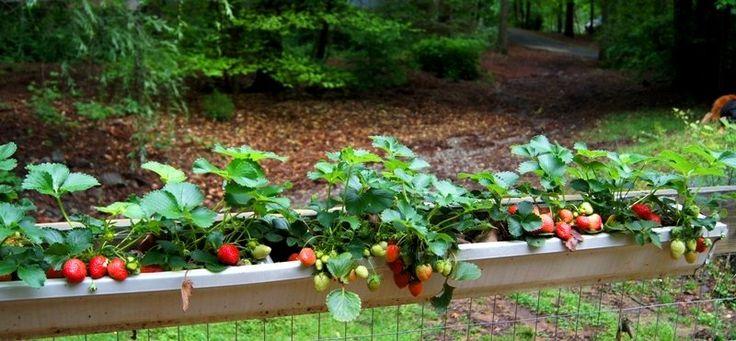 Strawberry Gutter Planter For Garden Fence Crafts