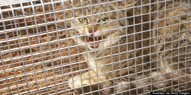 Australia: Feral Cats Responsible For The Extinction Of Some Australian Mammals, Study Say