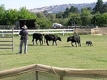 Un Kelpie australiano compitiendo en un ensayo perro del ganado, Woolbrook, Nueva Gales del Sur.