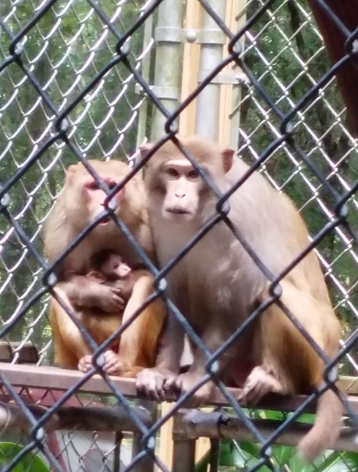 Mystery Monkey becomes a Dad - Family Portrait at Dade City's Wild Things