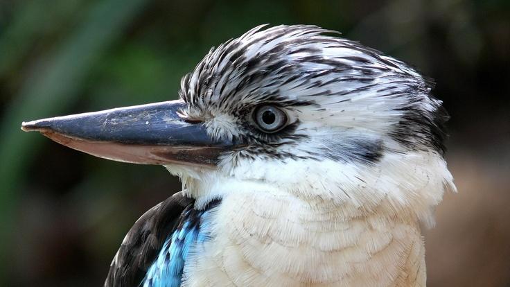 Lachender Hans oder Kookaburra