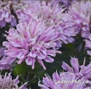 Pink Frosting Bee Balm  Newer shorter, clumping and mildew resistant!