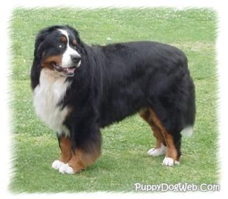 Bernese Mountain Dog | Bernese Mountain Dog Puppies Breeders Mountain Dogs