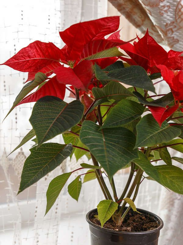20 Flowering Houseplants That Will Add Beauty To Your Home Poinsettia Care Indoor Flowering Plants Houseplants