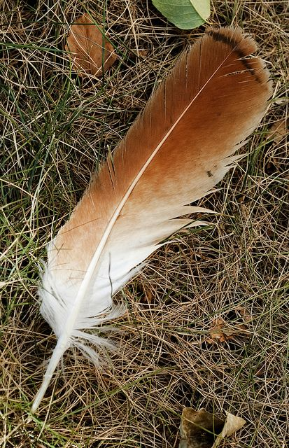 Tail Feathers   Red Tailed Hawk Feather