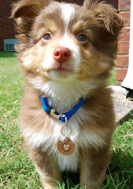 Dexter the Miniature Australian Shepherd | Puppies | Daily Puppy. OMG He is sooo cute!!