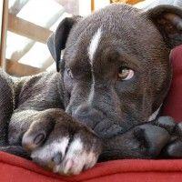#dogalize La commovente lettera di un cane da combattimento #dogs #cats #pets