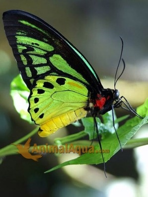 Birdwing ButterflyFlowers Nature'S Laughter, Beautiful Butterflies, Butterfly'S S Dragonflies, Bugs, Butterflies Moths Dragonflies, Fly Beautiful, Birdwing Butterflies, Butterflies Dragonflies Moth, Butterflies Beautiful