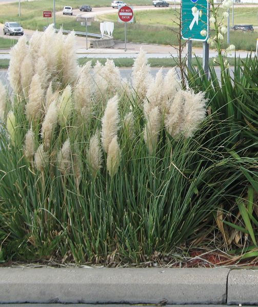 Smartscape plant details dwarf pampas grass garden for Landscaping ideas with pampas grass