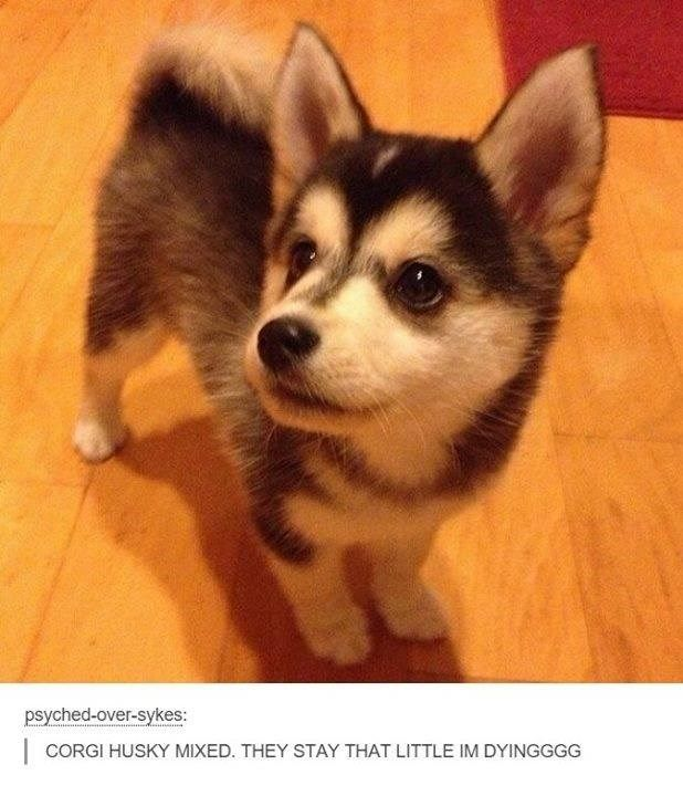 Corgi Husky Mix - OMG the cuteness!!!!