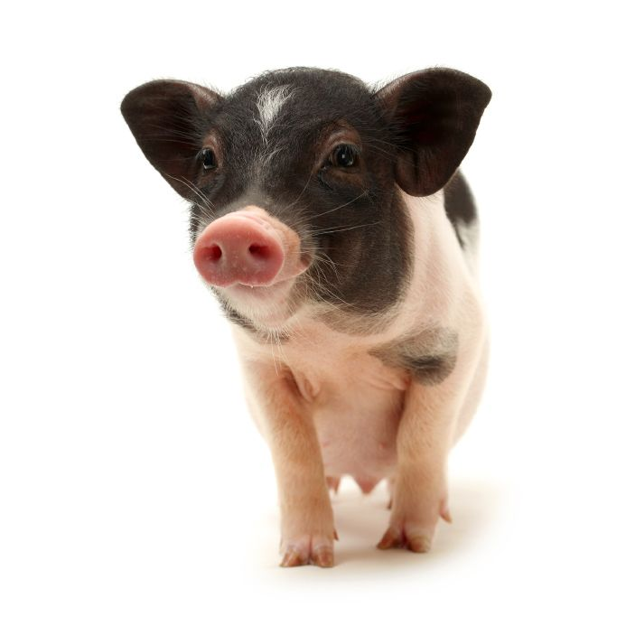 Why You Should Think Twice Before Buying a Teacup Pig ...