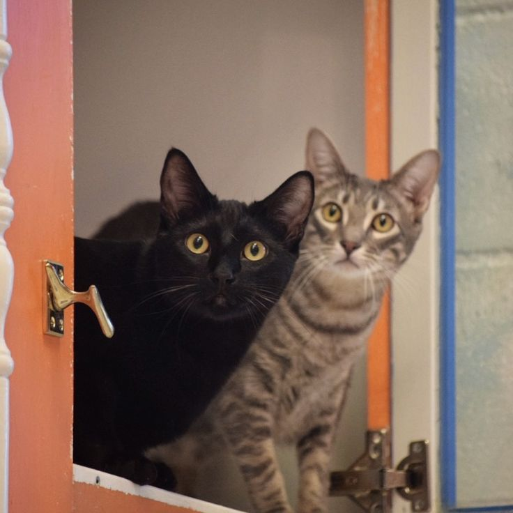 What do you do when you're a pair of young cats, who have been waiting to be adopted since you were young kittens? You ask the Shelter Pet Project peeps for all the repins!  Cat bros Lance and JC recently turned one at East Lake Pet Orphanage (ELPO) in Dallas. Call 214-342-3100 or email elpo@welovepets.net!