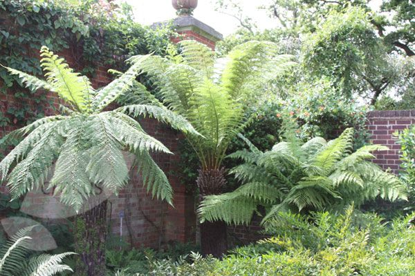 Buy tree fern Dicksonia antarctica: Delivery by Crocus.co.uk - Scroll down for further details.