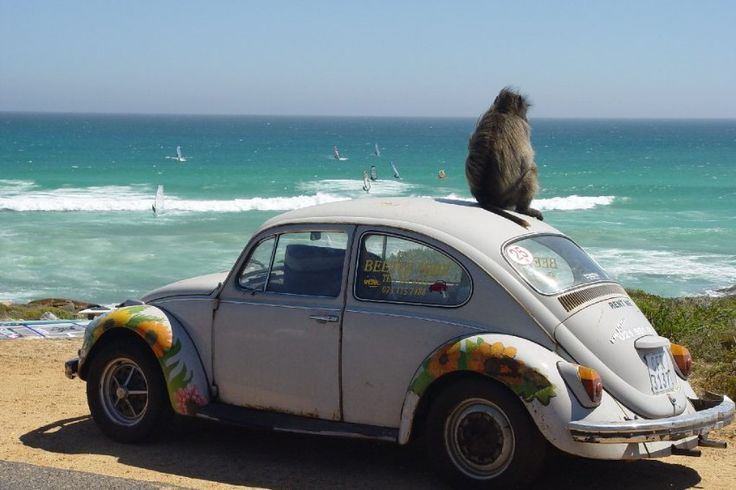 """Cape Town, South Africa     """"Platboombaboon"""", that is reader-photographer Christian Musolff his photo with baboon (English """"Baboon""""). Recorded in January 2007 it was named in Cape Town, on a beach near the famous Cape of Good Hope, also called """"Platboom""""."""