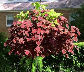 Use Coleus For Hanging Baskets   Variety Of Colors