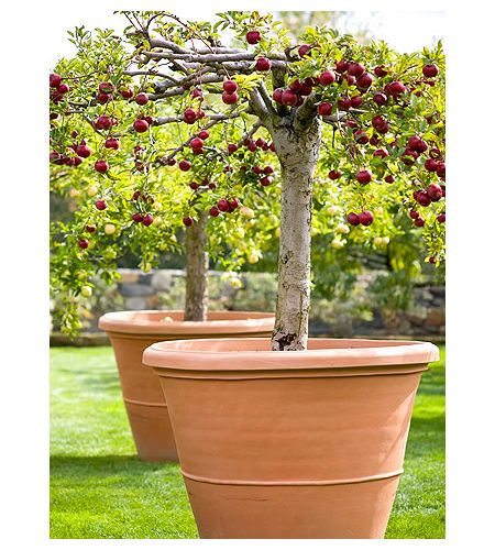 how to grow apple trees in containers