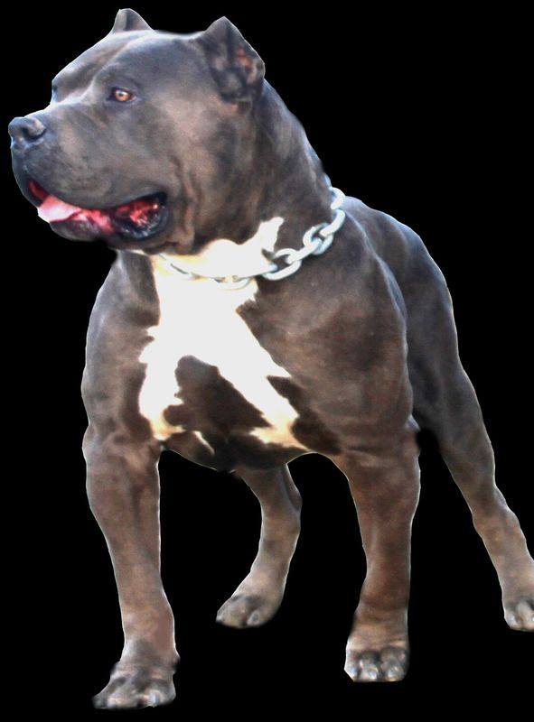 Bgk S Picasso Photo Casso Black 2 Zps1s0hg12v Jpg Pitbull