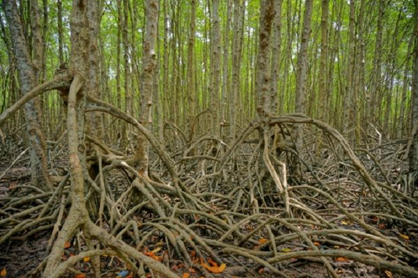 Inside-Can-Gio-Mangrove-Forest.