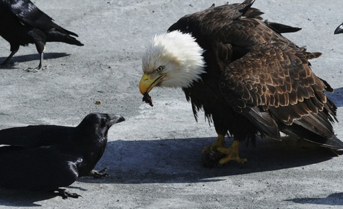 Eagle tryin to feed a crow.. The crow looks a little uneasy with the whole idea.