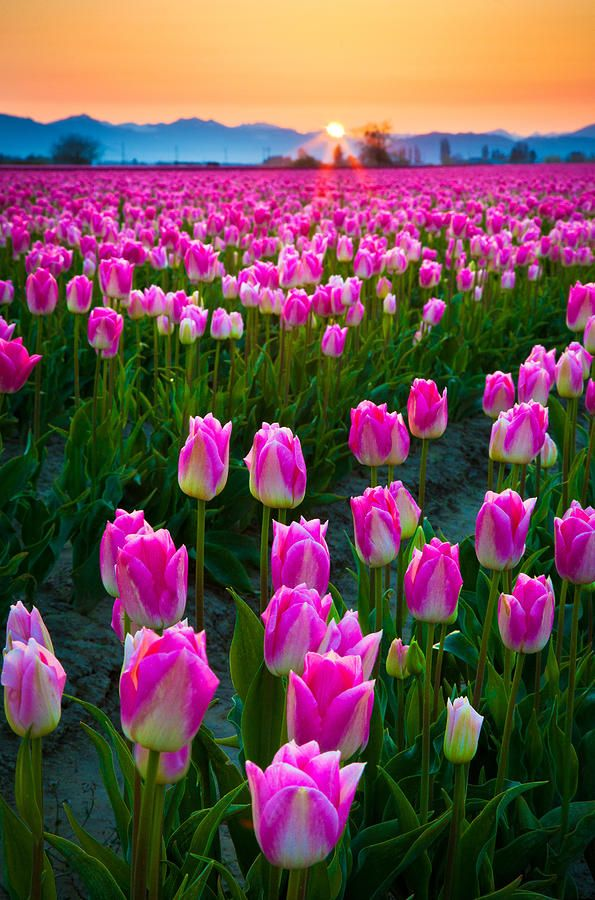 Skagit Valley, Washington Tulip Festival, April 1-30 (Bloom Dates as dictated by Mother Nature)