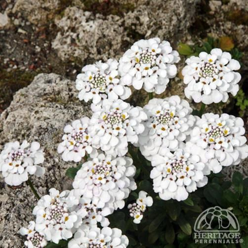 Iberis Masterpiece™ Candytuft. Blooms spring to Fall. Sandy,well draining soil. Zone 8 for now. Candytuft