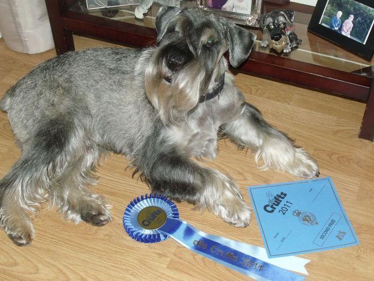 Standard Schnauzer Puppies for sale   Lochgelly, Fife   Pets4Homes