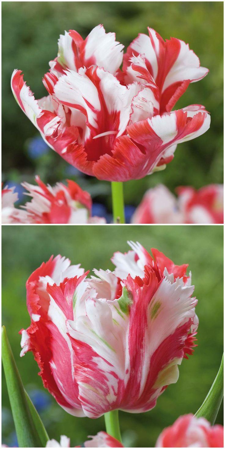 Luxury Papagei Tulpen wie die uEstella Rijnveld u sind ziemlich ausgefallen und stechen