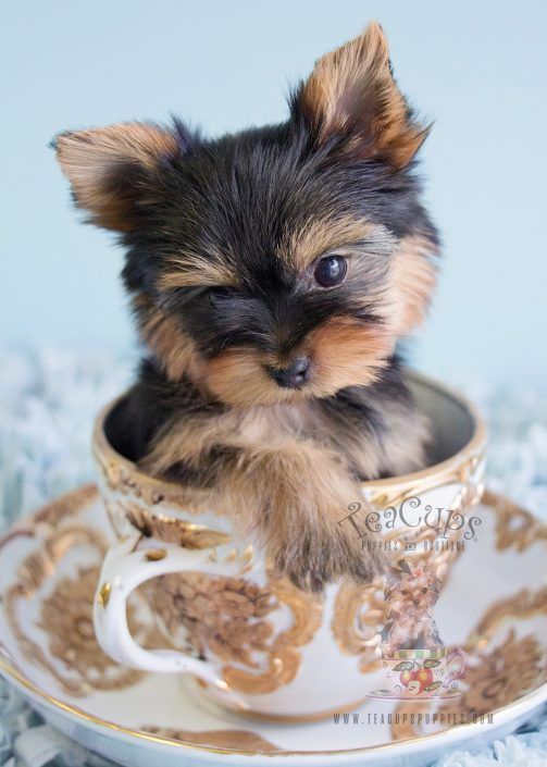 Yorkie Puppy For Sale by TeaCupsPuppies.com of South Florida