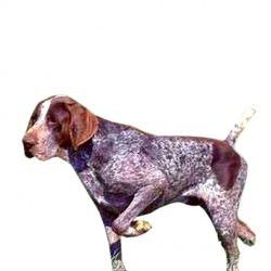 La razza è specializzata come cane da ferma e viene utilizzata principalmente per la caccia alla piccola selvaggina di pelo e di penna. Si tratta di un cane molto rustico, adatto a ogni tipo di terreno e per qualsiasi tipo di caccia. Con il suo padrone è molto docile e vanta un temperamento molto calmo.