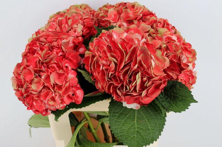 Hydrangea m. Amathyst Red