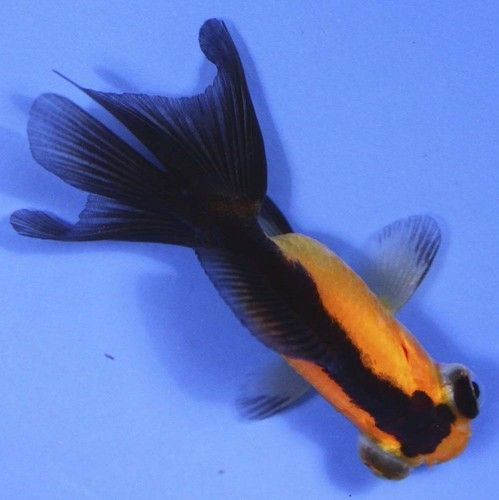 31 best images about goldfish koi on pinterest bristol for Koi fish tail