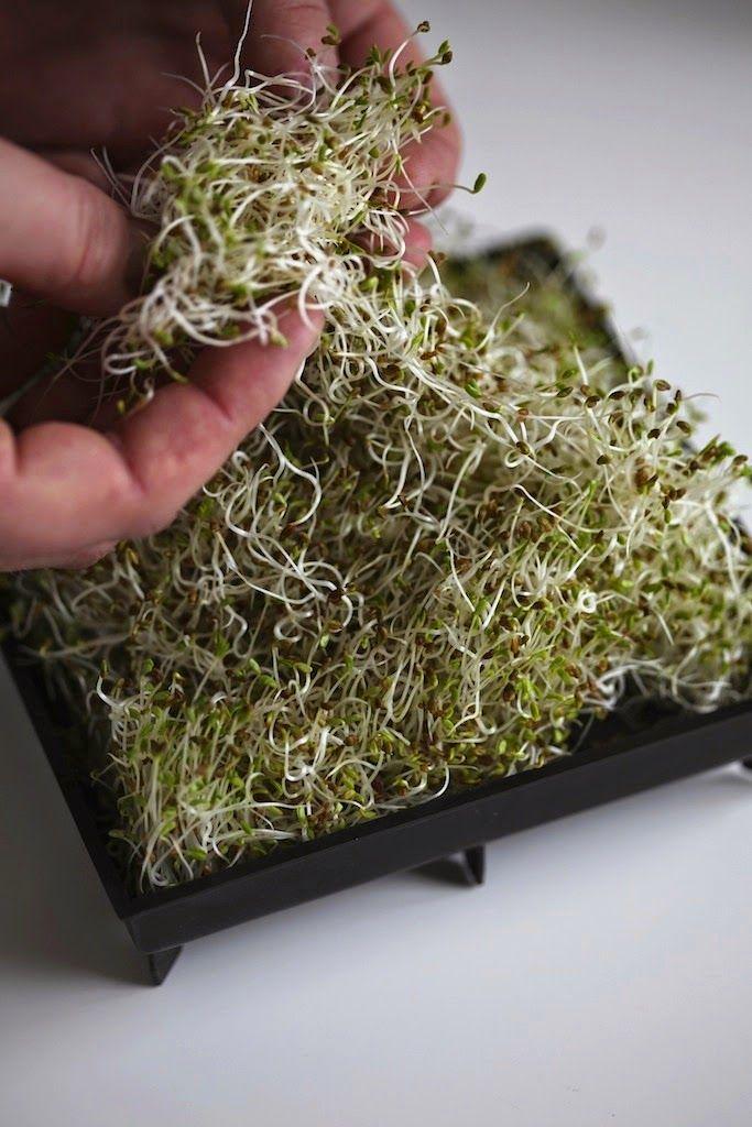 Dyrk dine egne alfalfa-spirer.