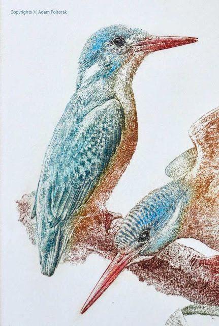 Kingfisher / Zimorodek