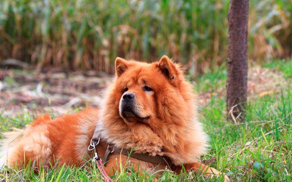 Chow Chow Dog Breed | Чау чау: благородный лохматый лев