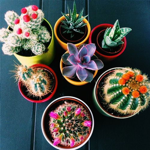 ❤~ Cactus~❤~Suculentas~❤ pinterest//@hateuandurbrows