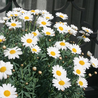 Pure White with a golden centre, the Argyranthemum Polly