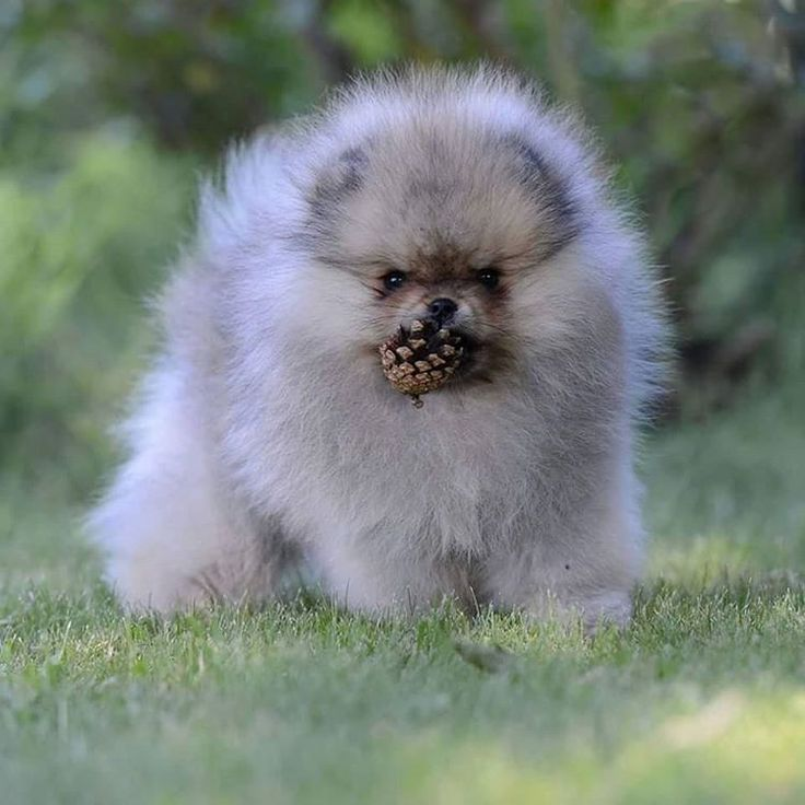 pomeranian puppies for sale in michigan ebay 5937 best images about pomeranians on pinterest toy 8083