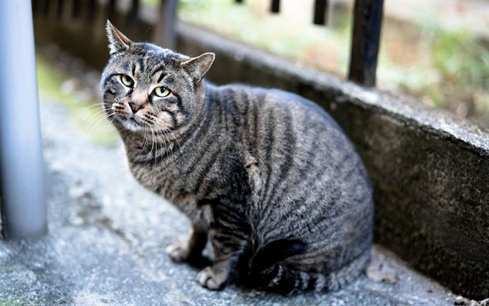 Best 25 Grey Tabby Cats Ideas On Pinterest White Tabby