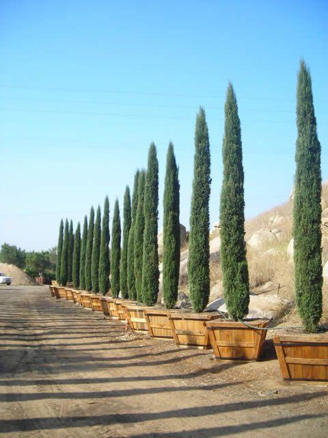 Italian Cypress 3 On Each Side Of My Driveway Italian