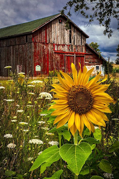Old weathered barn and a pretty meadow of Queen Ann's lace and sunflower.
