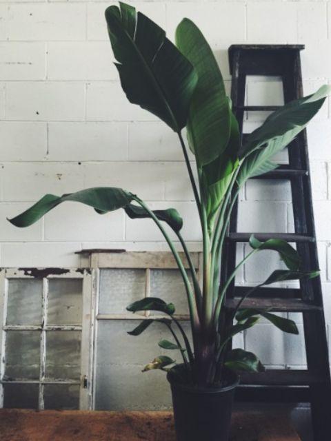 De plant en dus niet wat we in plat Haags in 2010 in koor riepen. De Strelitziais een exotische plant,die in Zuid-Afrika en de Canarische Eilanden tot wel twee meter hoog kan worden. In het voorjaar en de zomer kun je mooie bloemen verwachten. > In de zomer heeft de plant ruim water nodig.> De plant heeft breekbare wortels, dus vaak verpotten is een no-go.> Zet hem niet op de tocht, in de volle zon of bij de verwarming.