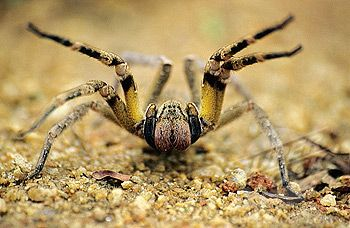 """Brazilian wandering spiders (Phoneutria), armed spiders (""""aranhas-armadeiras"""", as they are known in Portuguese), or banana spiders (not to be confused with the relatively harmless species of the genus Nephila), are a genus of defensive and highly venomous spiders found in tropical South and Central America. These spiders are members of the Ctenidae family of wandering spiders."""