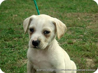 Waterbury, CT - American Bulldog/Labrador Retriever Mix. Meet Snuggles easter pup3, a puppy for adoption. http://www.adoptapet.com/pet/18263869-waterbury-connecticut-american-bulldog-mix