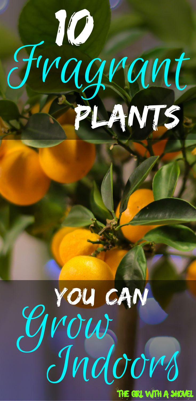Fragrant Houseplants | Interior Plants that Smell Good | Indoor Plants |