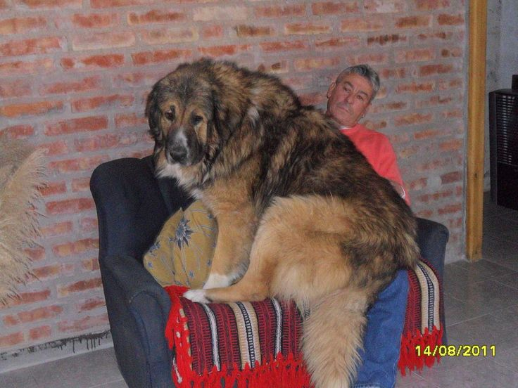 Perro de raza Pastor Ruso Ovcharka sentado sobre su dueño.